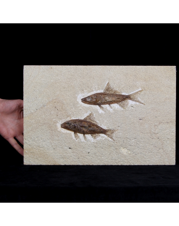 Two Fossil Fishes