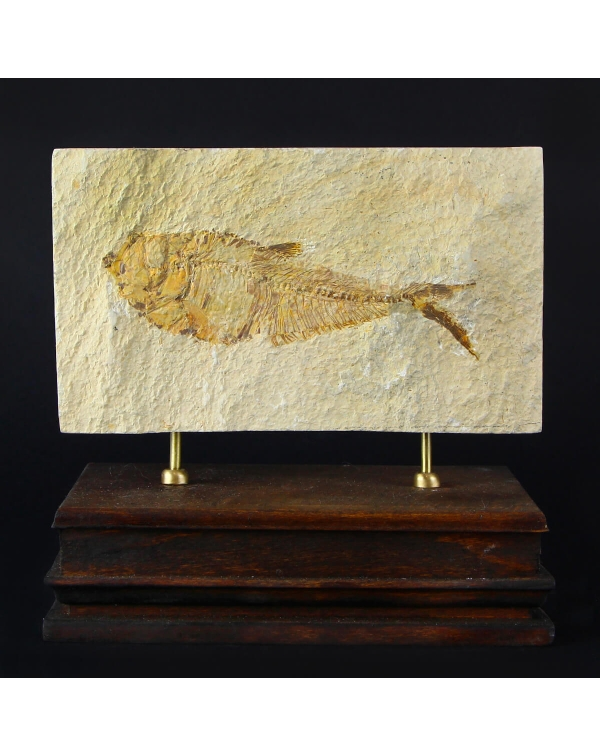 Green River Fossil Fish