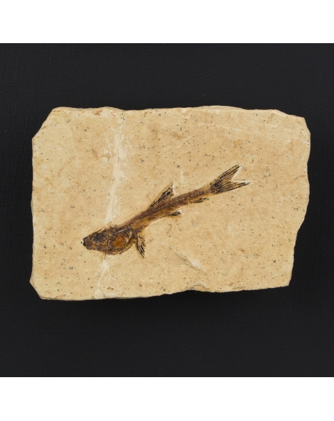 Framework with Wyoming Fossil Fishes