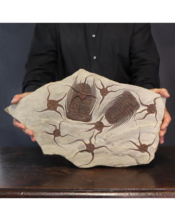 Trilobite Selenopeltis and Ophiura
