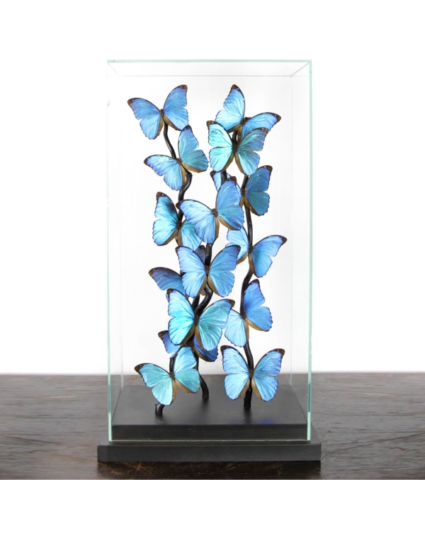 Blue Morph Butterflies under Glass Showcase