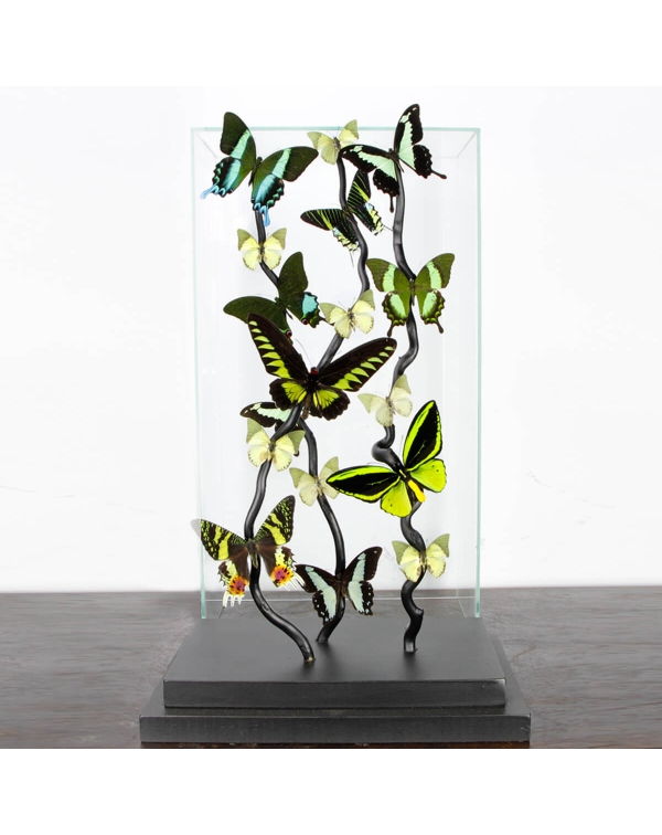 Exotic Butterflies under Glass Showcase