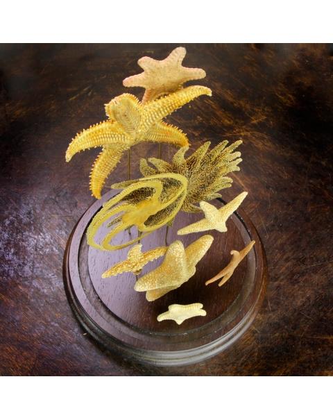 Starfish under Glass Bell