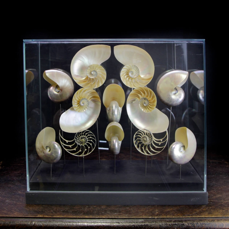 Nautilus under glass case