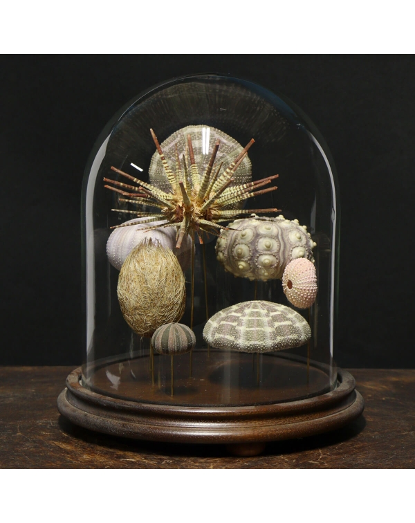 Sea urchins under glass case