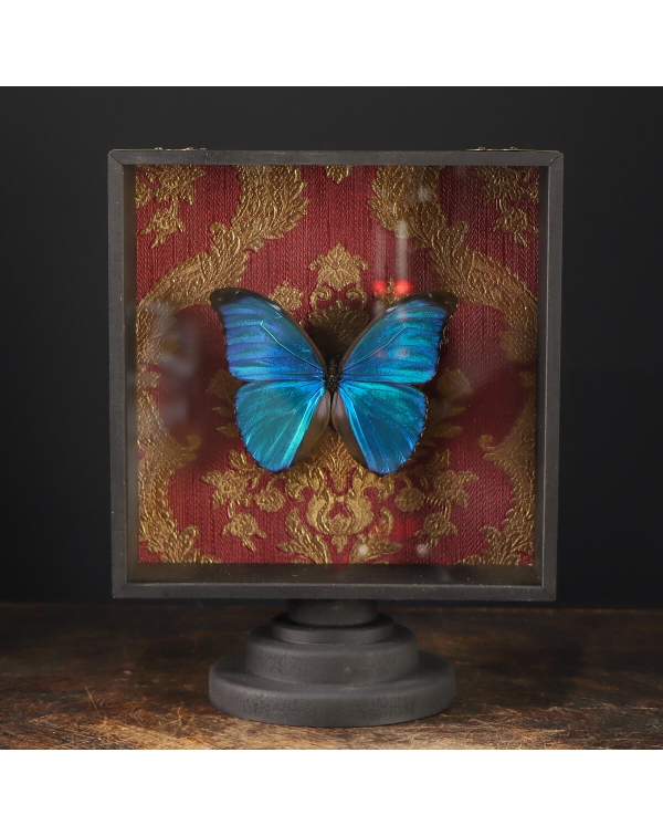Blue Morph Butterfly under Glass Showcase