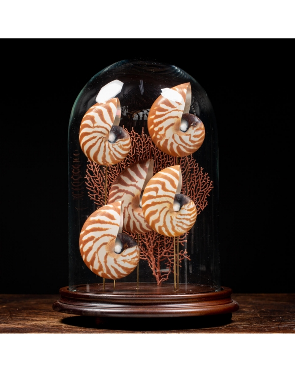 Nautilus and Gorgonian under Glass Dome
