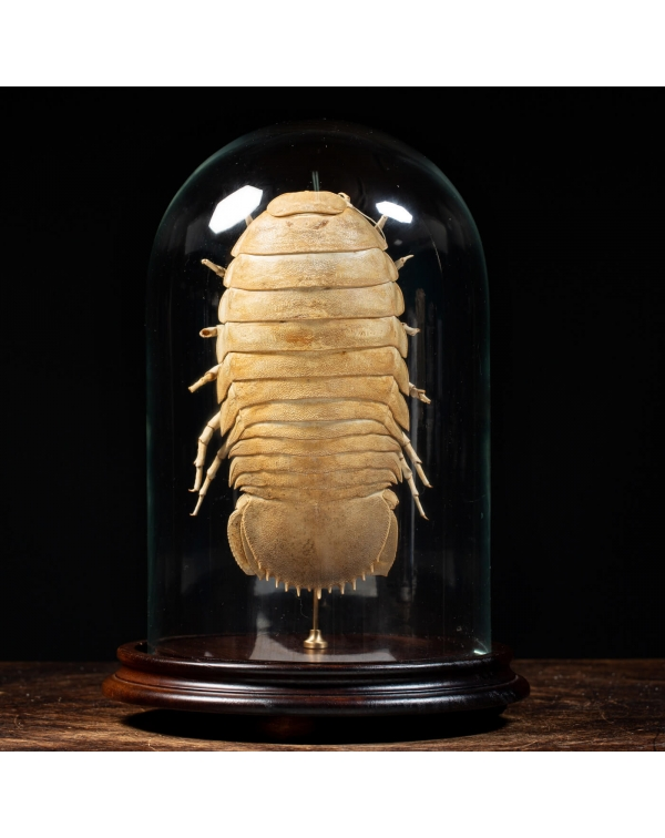 Isopod under Glass Dome