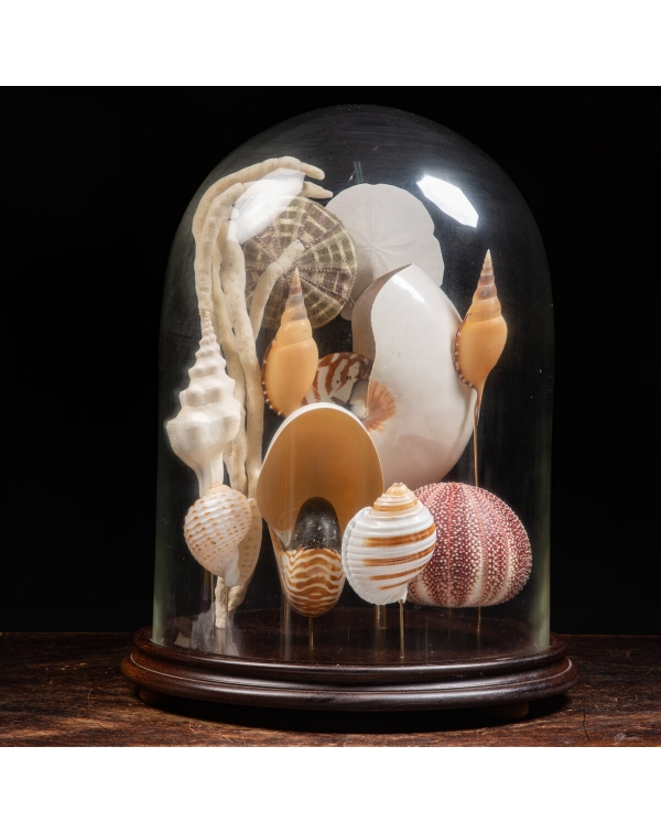 Nautilus and collectible shells under a glass bell