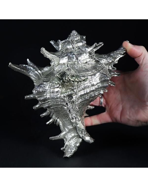 Silver Murex Ramosus Extra Large